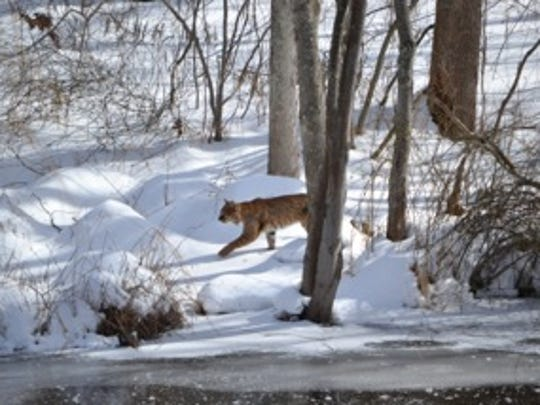 This large cat, which appears to be a bobcat, was spotted