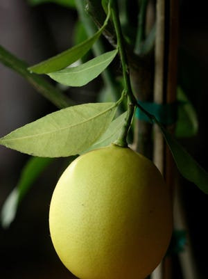 This Meyer lemon was part of a fast-growing miniature hybrid. Under most conditions, citrus plants grown from seeds will not flower or be fruitful but they still make good decorative foliage specimens and floor plants.