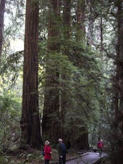 Visitors on the Fern Creek Trail look up at giant redwood trees at Muir Woods National Monument, part of the Golden Gate National Recreation Area in San Francisco.