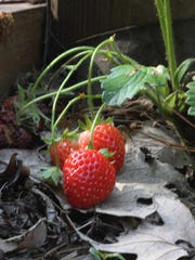 Second-year strawberries thrive in an area of partial shade.