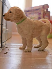 One of the eight puppies Cathy Powell is raising to become a service dogs looks at her siblings inside the enclosure.