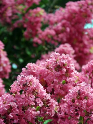 Learn how to prune crape myrtles.