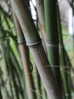Bamboo grows at Garrison Institute, photographed April 18, 2013 in Garrison. The former monastery, now retreat, has been open for the past 10 years and includes  guest quarters, mediation rooms and meeting halls. Joe Larese/The Journal News )