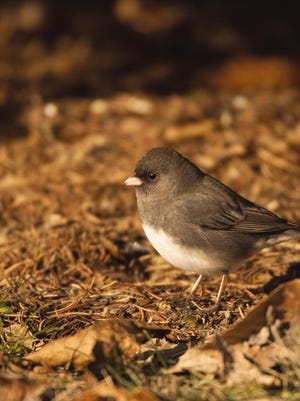 """The cute little dark-eyed juncos, or as some folks refer to them """"snow birds,"""" are a member of the sparrow family."""