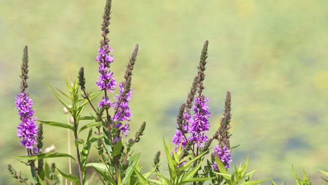 Purple loosestrife was introduced locally as an ornamental plant but has become invasive.