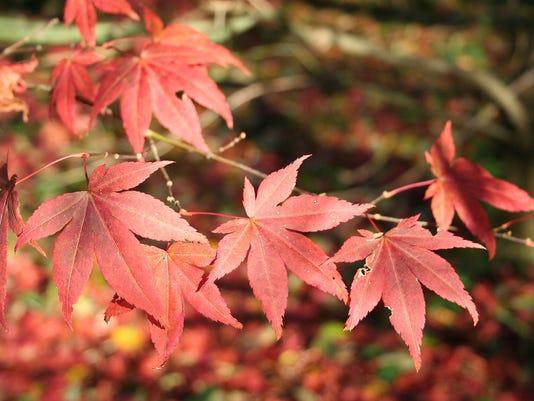 HES-SUB-060716-Japanese-Maple.jpg