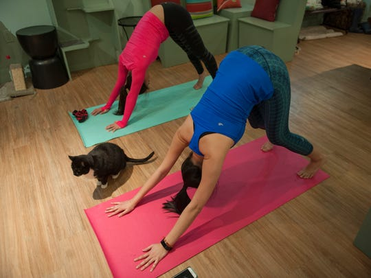 Downward dog -- with upward cat. University of Pennsylvania students Rochelle Dong, top, and Tiffany Pham participate in a yoga class as a cat sits nearby at Le Cat Cafe in Philadelphia.