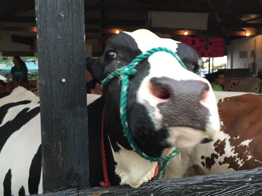 WEDNESDAY Elsie the cow says hello