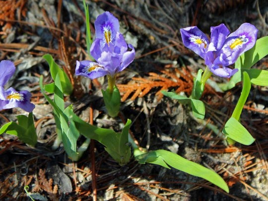 The dwarf lake iris is no bigger than a thumbnail and on the federal list of threatened plants, but patches are easy to find at this time of year at The Ridges.
