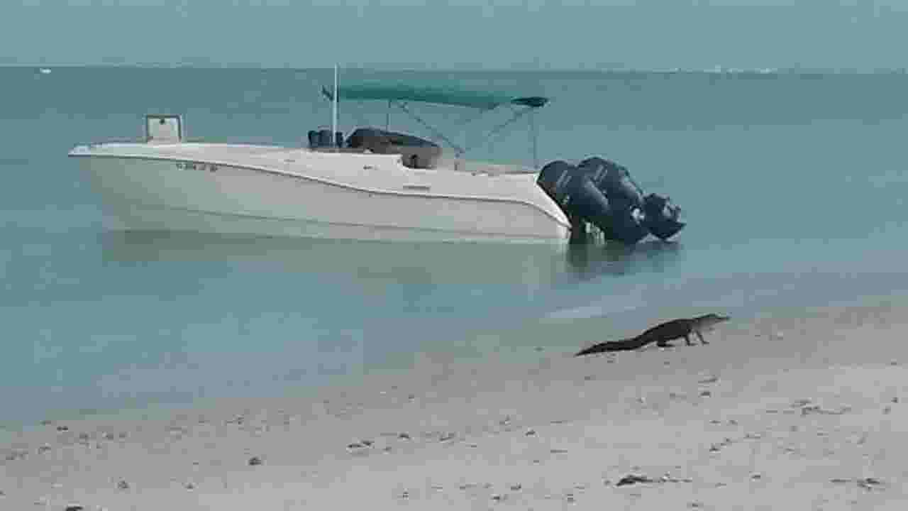 Florida Alligator Spotted Swimming At Hickory Island Near Key State Park