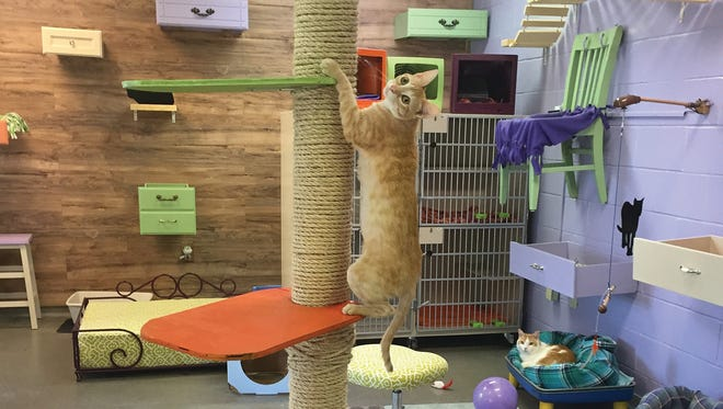 Cats awaiting adoption at the Williamson County Animal Center enjoy the new Purr Palace play room.