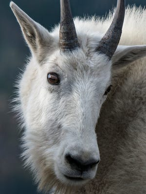 Mountain goats are drawn to the salt left behind by human activity in high-use areas, like Logan Pass.
