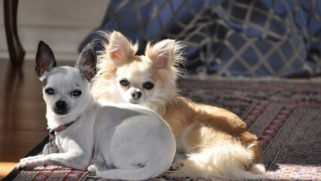 Chihuahuas are so popular and well-know in Arizona they have become the unofficial state dog.