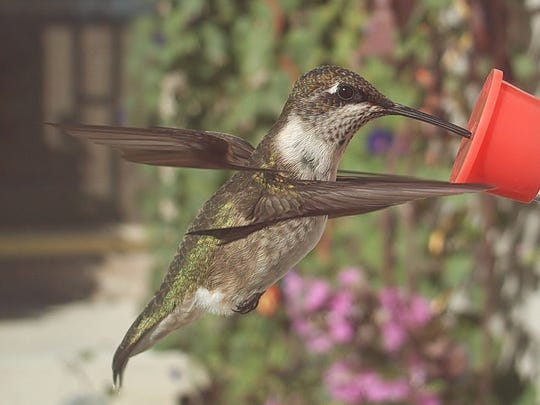Kate Hern snapped a photo of a hummingbird at one of