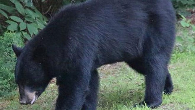 This black bear that was drawn to a Smithfield resident's bird feeder in 2013.
