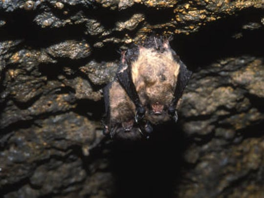 Nelson D. Johnson of Millbrook noticed that his barn's attick had become home to a small colony of little brown bats, like these.