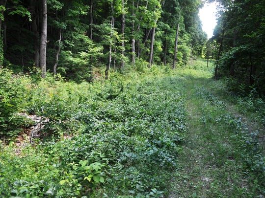 Black swallow-wort is shown overtaking other plants on a utility right-of-way in Dutchess County. This invasive plant can out compete native species, resulting in loss of plant and animal diversity.