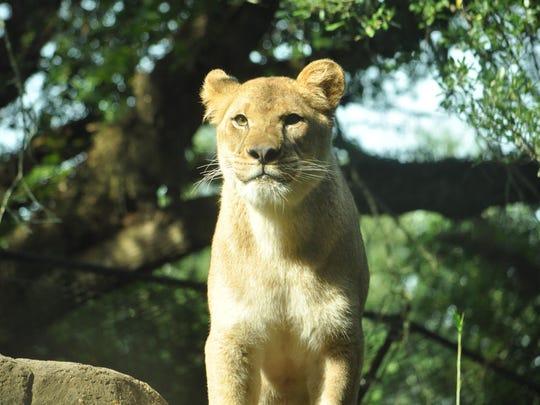 The Alexandria Zoo's new lioness Angalia explores her exhibit on Wednesday morning.