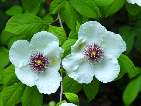 Flowering trees can be great sources of spring blooms for an arrangement. The silky camellia (Stewartia malacodendron) produces wide, white flowers with pale pink centers. The tree grows to be 8 to 12 feet tall.