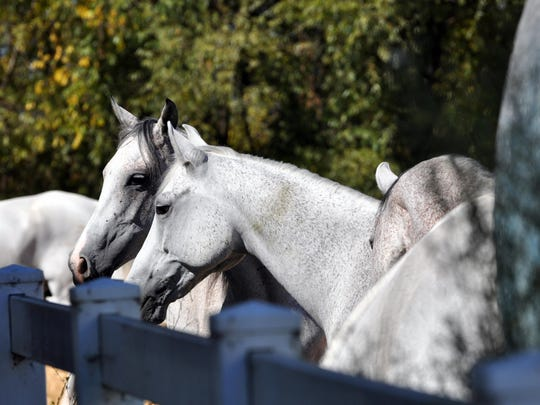 All of the Odysseo horses are male, and generally between 5-10 years of age. These are Arabians.