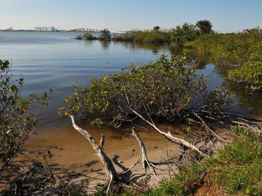 Mangroves in Titusville