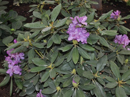 Crum rhododendrons.jpeg