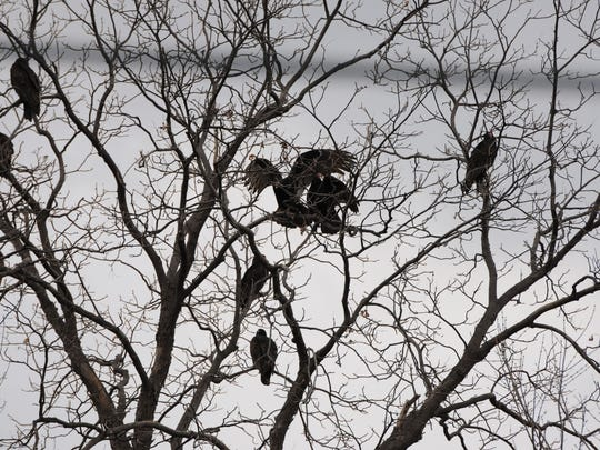 Turkey vultures squabble over a branch to rest on in Lacarne last week. A large group, called a venue, was resting on a tree before taking off to hunt.