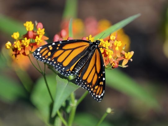 A monarch butterfly lands on a milkweed plant. Earlier this summer, the U.S. Department of Agriculture Natural Resources Conservation Service sent out an advisory asking people consider planting milkweed in their backyards – a move that would create habitat for monarch butterflies.
