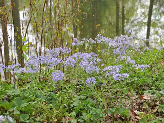 """Woodland phlox (Phlox divaricata) is great for shade. """"I like this perennial because of its spectacular display of spring flowers. Numerous varieties have been selected for interesting flower colors as well as fragrance."""" – George Coombs, Mt. Cuba's trial garden research horticulturist"""