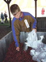 A boy scoops cranberries from a crate during Cranberry Fest in Eagle River.