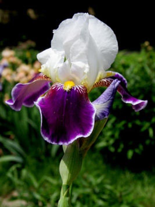 iris new.jpg