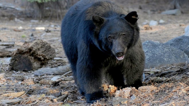 This October 9, 2009 file photo shows a black bear as it scavenges for food beside tourists near the famous General Sherman tree at the Sequoia National Park in Central California. A black bear at a wildlife sanctuary in Florida attacked a woman who reached into its enclosure Friday.