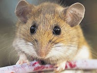 Part-human, part-animal? Scientists may soon try to grow human organs in rodents