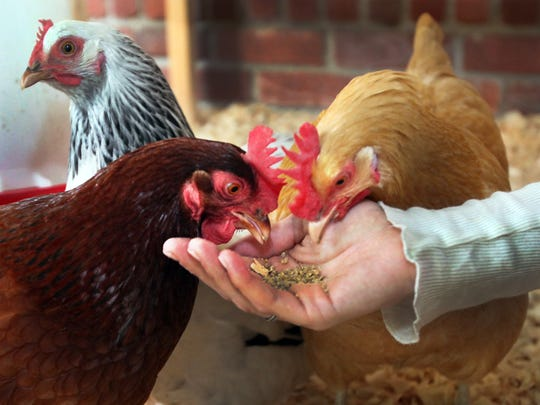 Learn how to start and care for your own flock of chickens at Pogue's Run Grocer.
