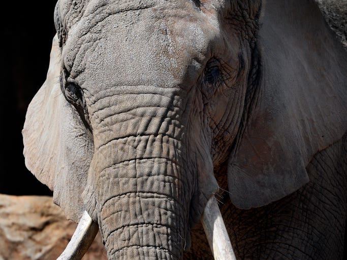 Joy, an African elephant, stands in her exhibit area at the Greenville Zoo on Wednesday, March 12, 2014. The Greenville Zoo has announced that plans have been finalized for its elephant, Joni, (publicly known as Joy) to move to Cheyenne Mountain Zoo in Colorado Springs, Colo.