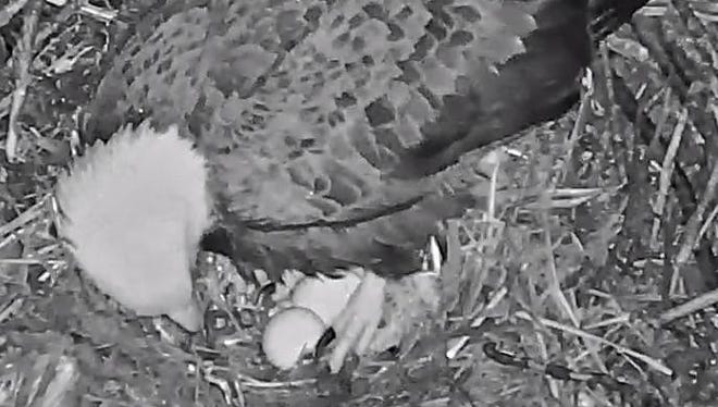 The Hanover-area bald eagles, nesting on private property near Codorus State Park, welcomed their second egg of 2018 at about 6 p.m. Friday, Feb. 23.  (Photo: HDonTap/ Pennsylvania Game Commission)