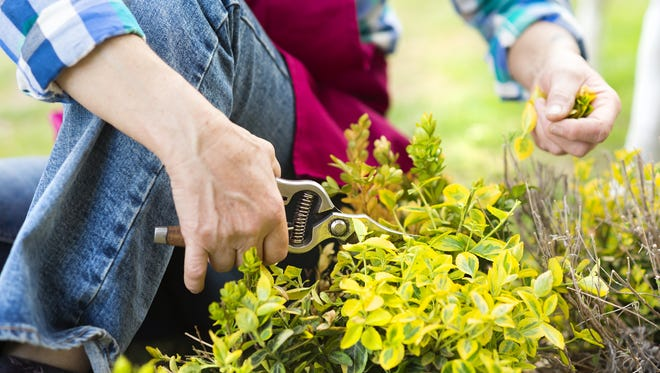 If you have a large number of plants to prune, you can start now. If you have only a few, you can wait to prune at the end of winter.