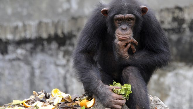 Research led by scientists from Harvard and Yale affirms that chimpanzees have the cognitive ability to cook food.