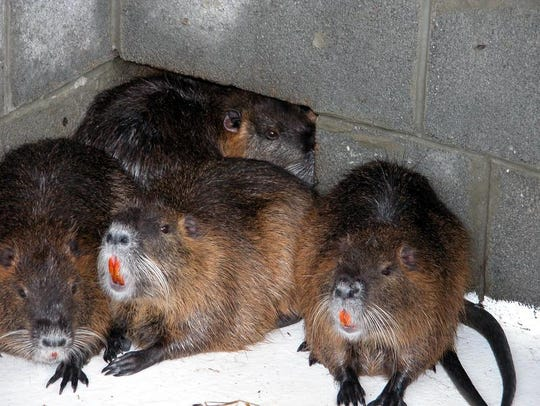 Nutria eat about 25 percent of their body weight each