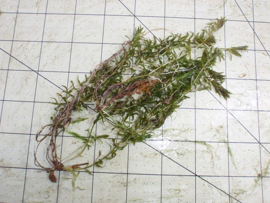 Young Hydrilla plant.JPG