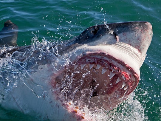 While Great White attacks worldwide are numerous, there