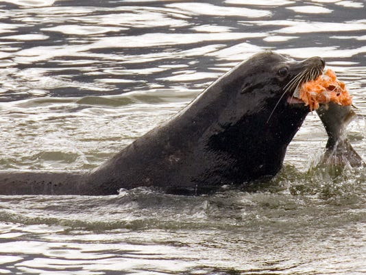 Predation on salmon and steelhead by seals,