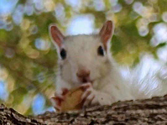 A white squirrel eats a peanut in a tree near Pine