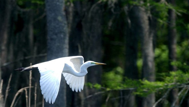A great heron flies low over the Black Bayou Lake Wildlife Refuge. Black Bayou Lake National Wildlife Refuge was established in 1997 in a semi-urban location just north of Monroe. The area is a habitat for waterfowl, wading birds and game fish among others. The refuge also has an environmental education center and nature trails.