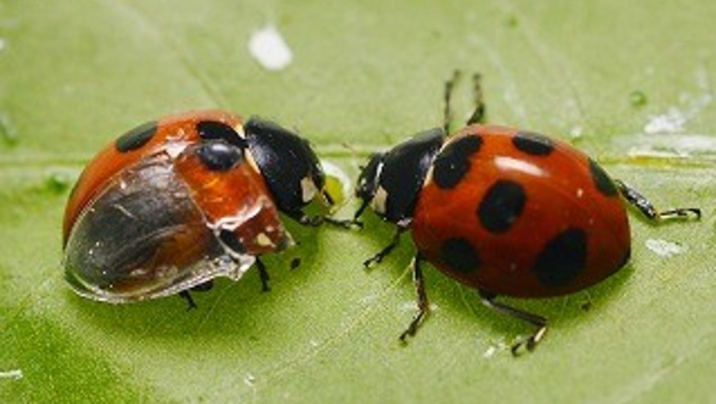 ladybugs and origami have a surprising connection