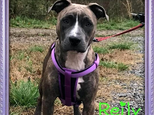 Reily is a beautiful adult, spayed-female boxer mix.
