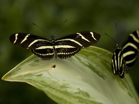 Zebra longwing butterflies at The Butterfly Estates