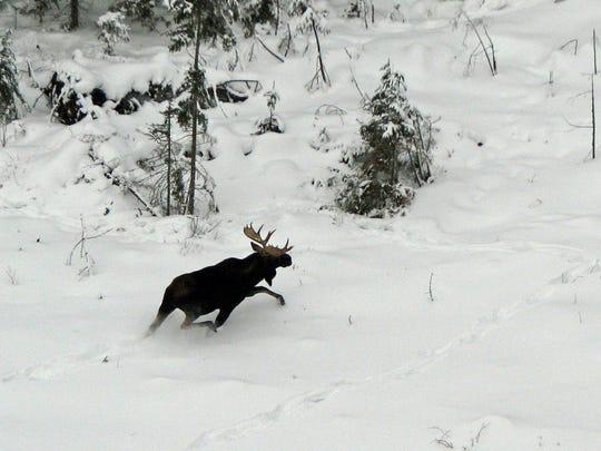 STC 0222 OTD bull moose.jpg