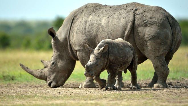 A southern-white female rhino and her calf roam the ol-Pejeta conservancy in 2015 in Kenya.