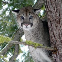 1 dead, 1 injured in cougar attack in Washington state